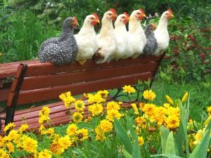bigstock-chickens-enjoying-the-flower-g-820625-300x225