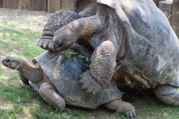 turtles that mate